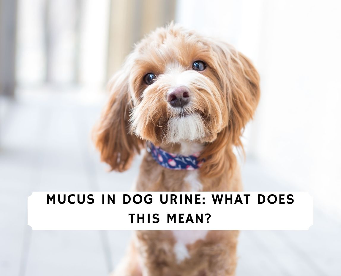 Mucus in Dog Urine