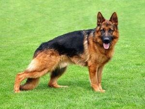 Most Popular Dog Breeds in Nigeria