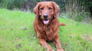 Conclusion For The Best Red Golden Retriever Breeders in the US
