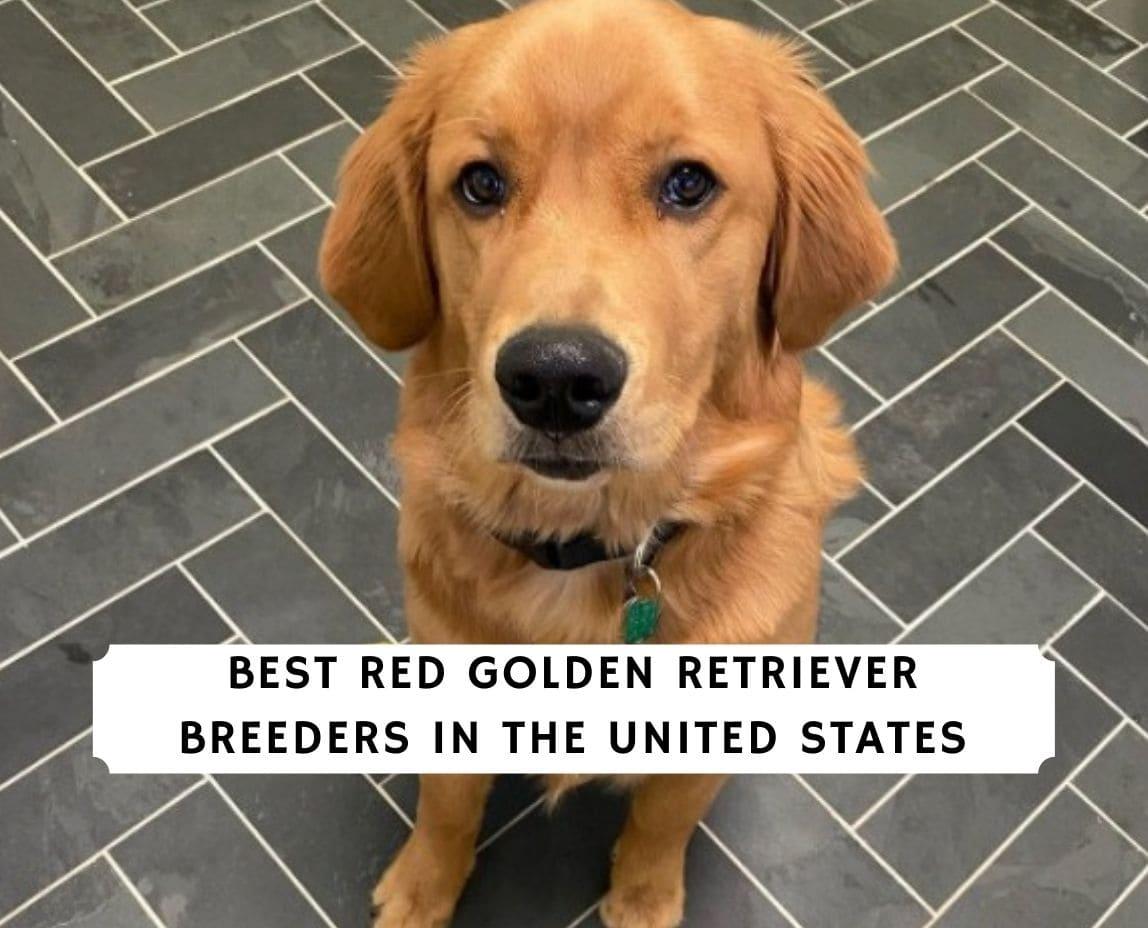 Red Golden Retriever Breeders