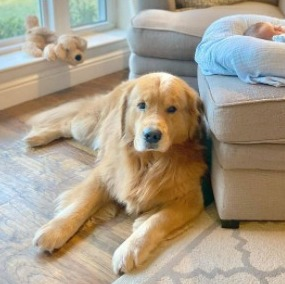 Red Golden Retriever Puppies For Sale in the United States