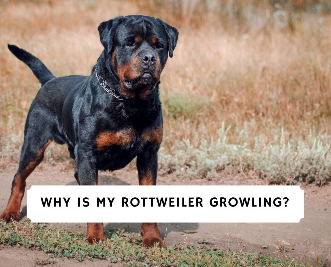 Rottweiler Growling