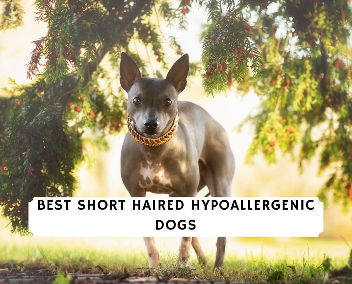 Short Haired Hypoallergenic Dogs