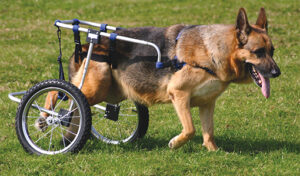 Quality of Life for Paralyzed Dogs
