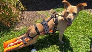 Paralyzed Dog Euthanasia