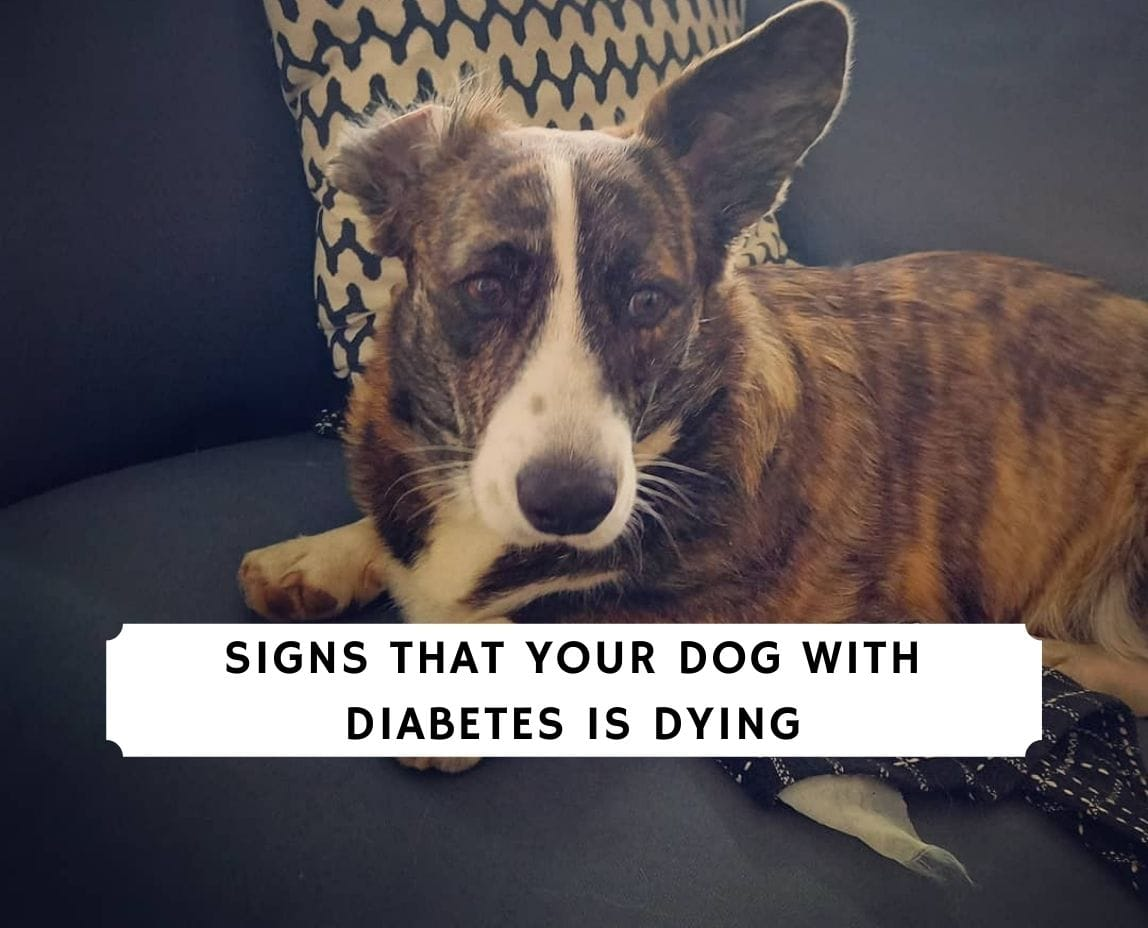Signs That Your Dog With Diabetes is Dying