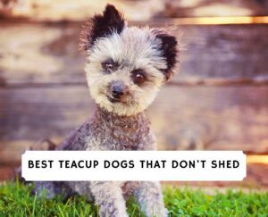 Teacup Dogs That Don't Shed