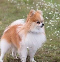 The Pomeranian's Coat