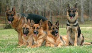 Tips to Purchase the Best German Shepherd