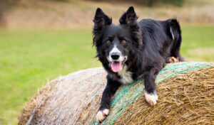 Top Barn Dog Breeds