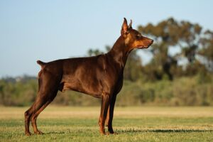 Conclusion For The Best Doberman Breeders in the USA