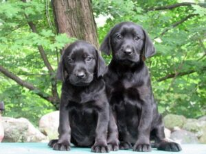 Conclusion For The Best Labrador Breeders in Massachusetts