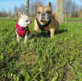 Training and Exercising Your Chihuahua