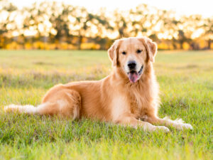 Trumpeter's Golden Retrievers