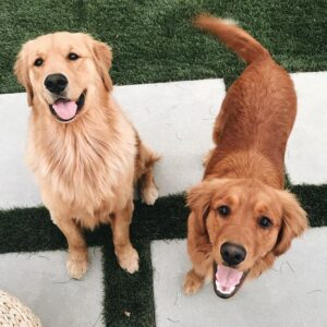 Walker Hollow Golden Retrievers
