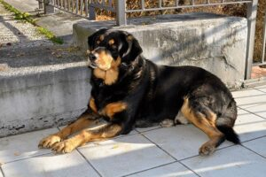Are Rottweilers more dangerous than Pitbulls?
