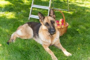 Conclusion For Can German Shepherds Eat Apples