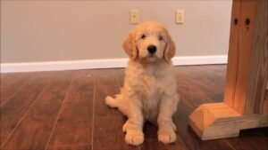 WeLoveDoodles - How to train an 8 week old Goldendoodle puppy