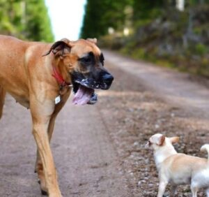What Are Chi-Dane-Danes Like As Pets