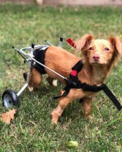 What is Paralysis in Dogs