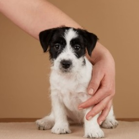 What is Parvo in Puppies