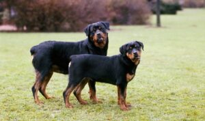 are rottweilers mean