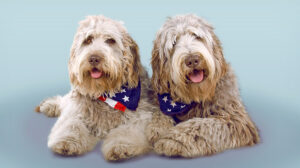 What's the Difference Between F1 and F1b Labradoodles