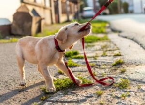 When Can You Start Training Your Goldendoodle Puppy