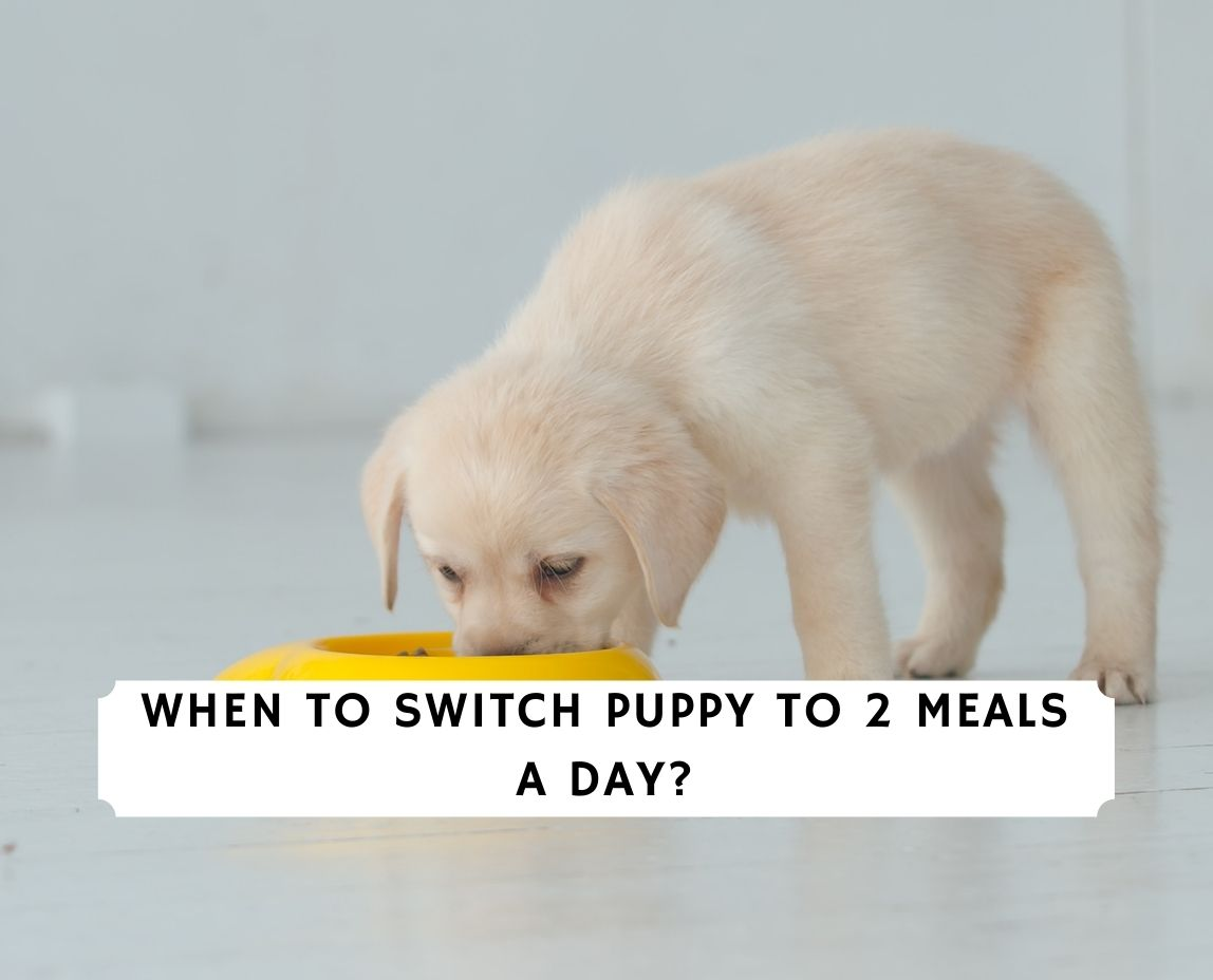 When To Switch Puppy To 2 Meals a Day