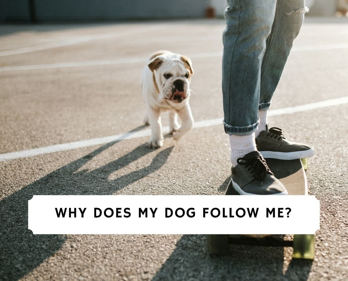 Why Does My Dog Follow Me