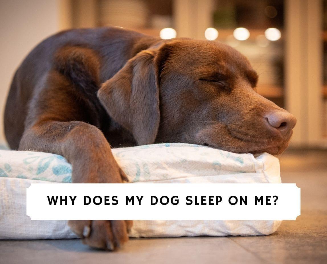 Why Does My Dog Sleep On Me