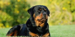 Why Does a Rottweiler Growl