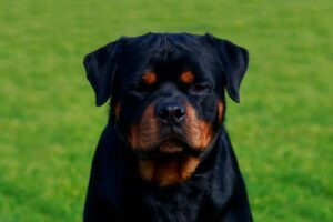 Why is My Rottweiler Growling