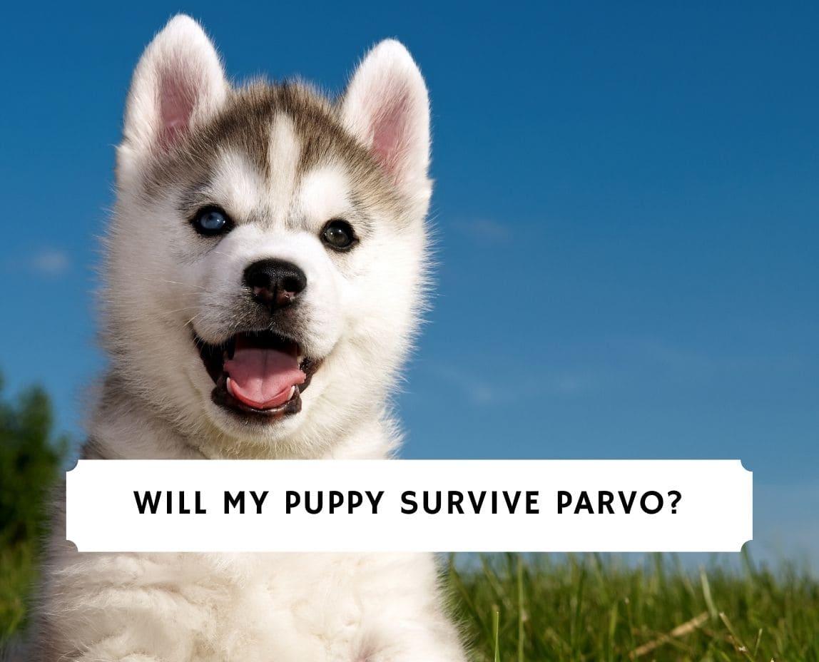 Will My Puppy Survive Parvo