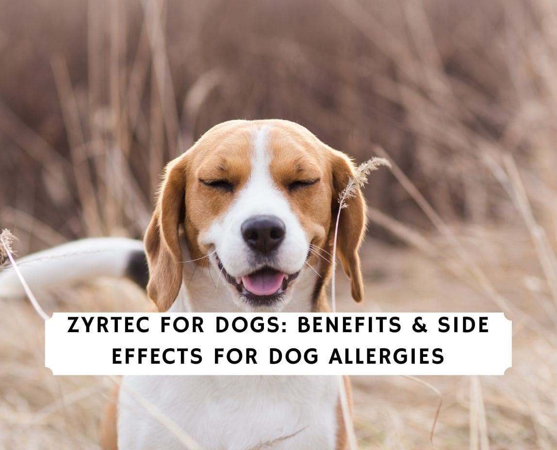Zyrtec For Dogs