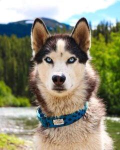 best e collar for siberian husky