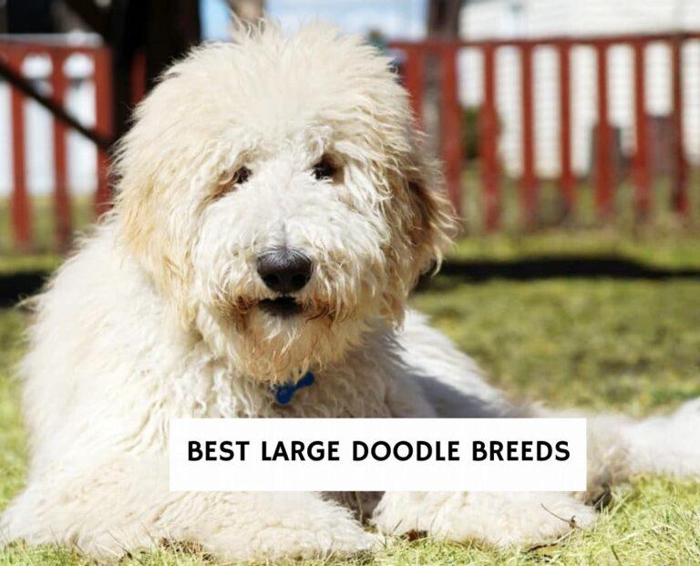 Best Large Doodle Breeds