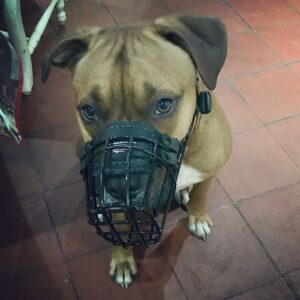 dog muzzle for pitbull