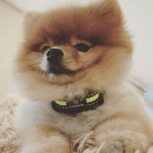 dog training collar for small dogs