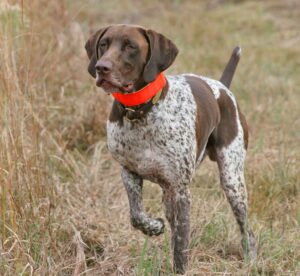 Conclusion For Best Hypoallergenic Hunting Dogs