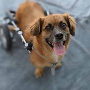 how to care for a paraplegic dog