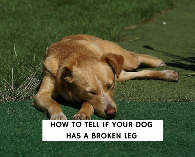 How To Tell If Your Dog Has a Broken Leg