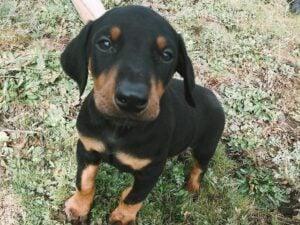 puppyspot doberman puppies