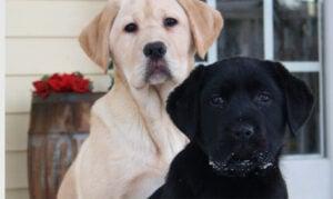 Conclusion For The Best Labrador Retriever Breeders in Michigan