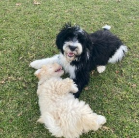 Aarion Portuguese Water Dogs