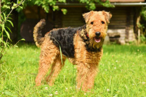 Conclusion For The Best Airedale Terrier Breeders in the United States