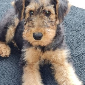 Airedale Terrier Puppies For Sale in the United States