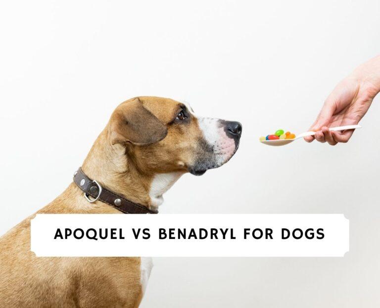 Apoquel vs Benadryl For Dogs