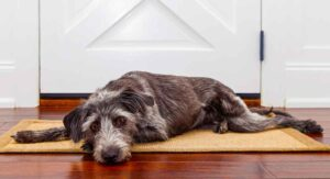 Apoquel vs Benedryl for Allergies in Dogs