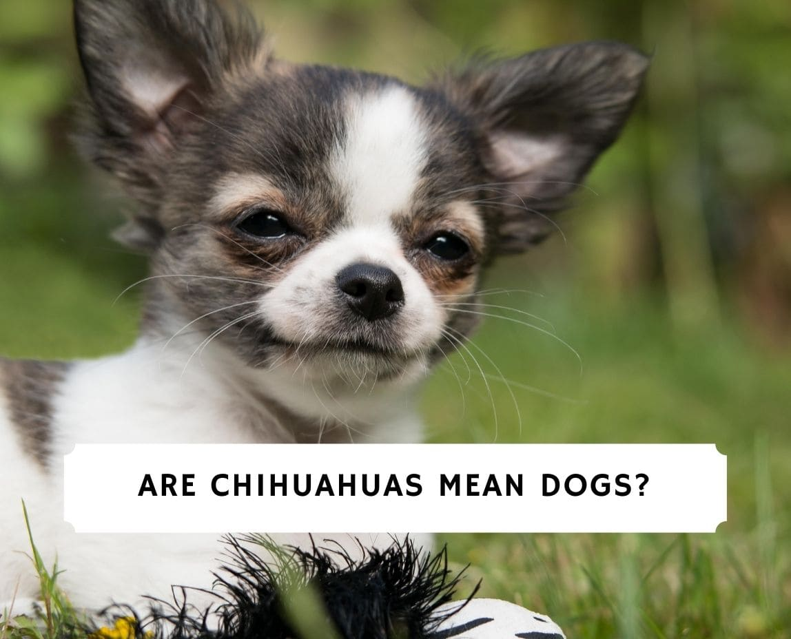 Are Chihuahuas Mean